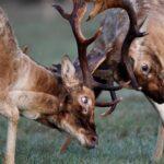 FOTO PRIČA Dva jelena u žaru borbe