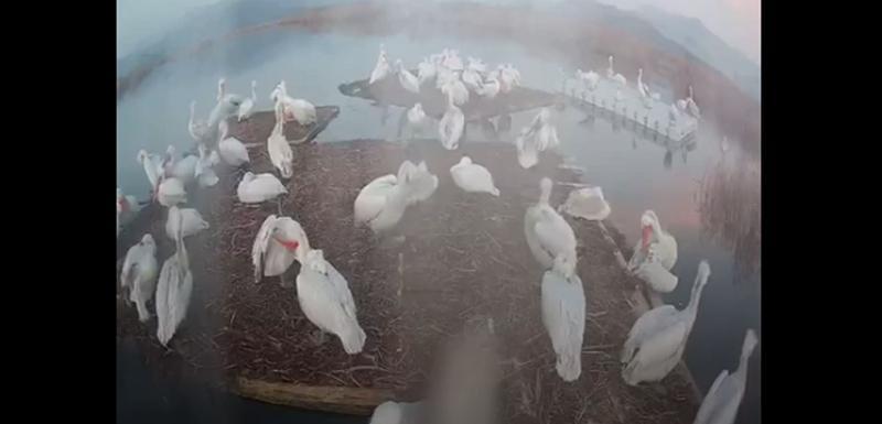 VIDEO Pelikani počeli da se pripremaju za gniježđenje na Skadarskom jezeru