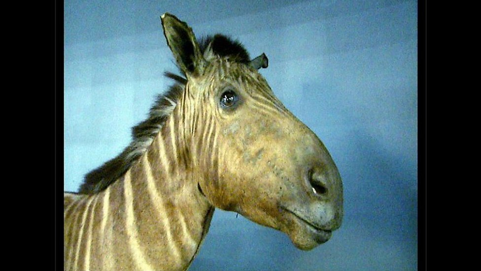 The Amsterdam Quagga mare which died at the Dutch Artis Zoo on 12 August 1883
