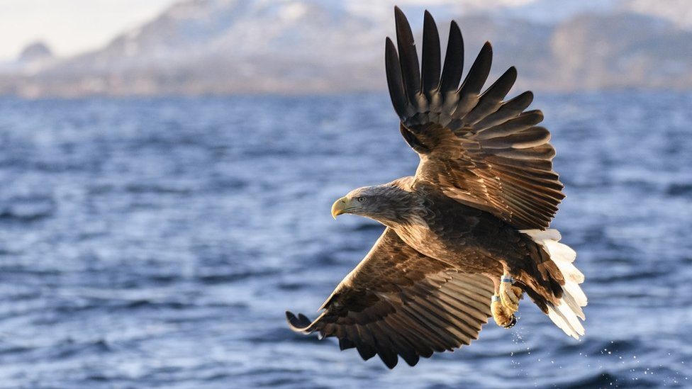 A white-tailed eagle fishing in Norway, flying over the water of a fjord