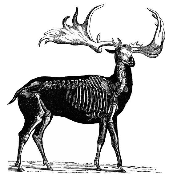 Antique illustration of Irish Elk.