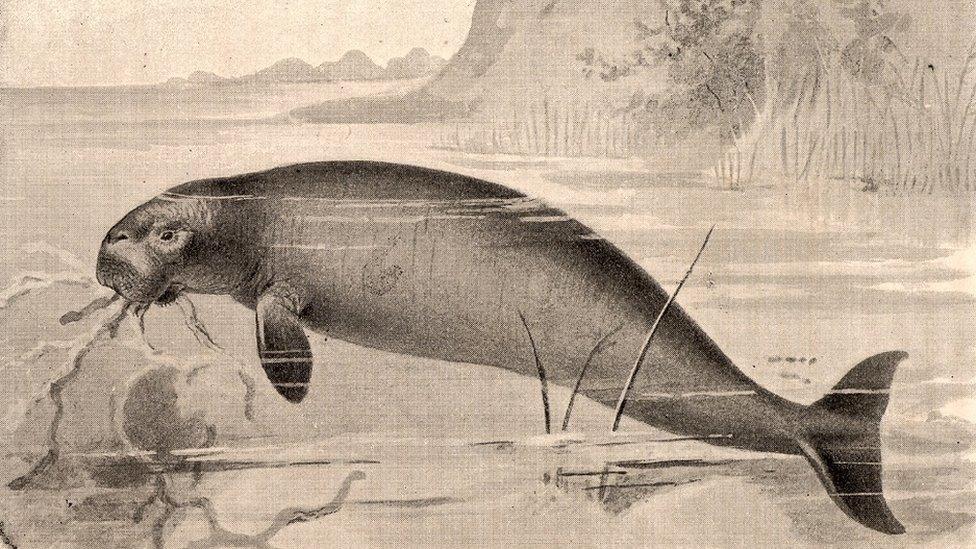 Antique portrait of the extinct Steller's sea cow.