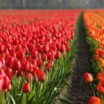 Nacionalni dan lala u Holandiji: 200.000 pupoljaka razdeljeno posetiocima /video/
